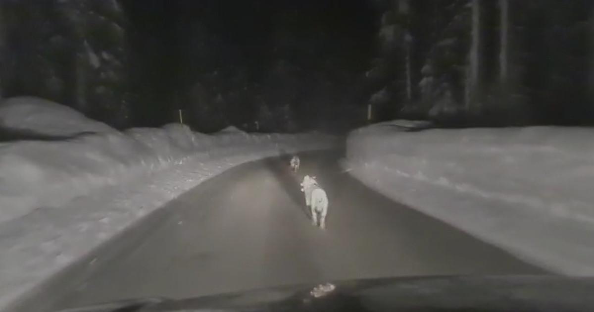 Inseguimento lupi a 50 chilometri orari in auto